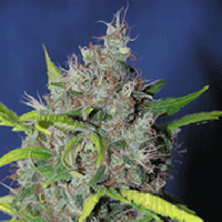 Auto Seeds - Smurfberry