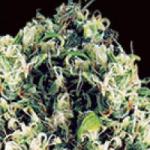 Auto Seeds - Amnesia Haze Auto