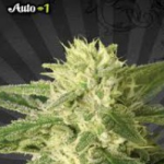 Auto Seeds - Auto #1