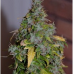 Auto Seeds - Auto Granddaddy Purple Kush