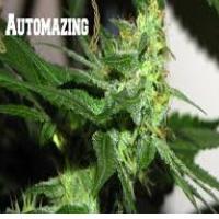 Auto Seeds - Automazing