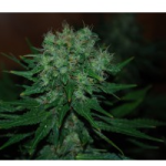 Auto Seeds - Blue Cheese
