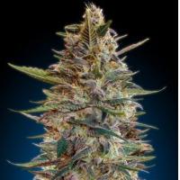 Auto Seeds - Blue Diesel