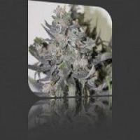 Auto Seeds - Blue Mystic