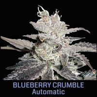 Auto Seeds - Blueberry Crumble