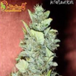 Auto Seeds - Bubba Yum
