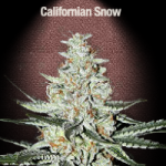 Auto Seeds - California Snow