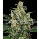 Auto Seeds - Cheese Autoflowering