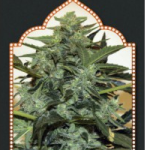 Auto Seeds - Cheese Berry