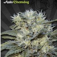 Auto Seeds - Chemdog
