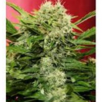 Auto Seeds - Chronic Ryder