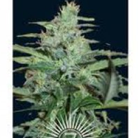 Auto Seeds - Colossus