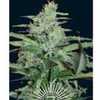 Auto Seeds - Colossus