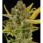 Auto Seeds - Critical Cheese