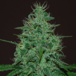 Auto Seeds - Cropical Fruit