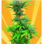 Auto Seeds - Crystal Dwarf