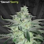 Auto Seeds - Diesel Berry