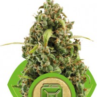Auto Seeds - Diesel Royal Queen Seeds