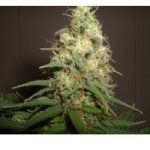 Auto Seeds - Easy Bud