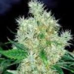 Auto Seeds - Flower Power