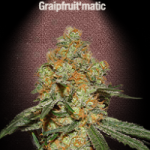 Auto Seeds - Grapefruit Matic