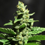 Auto Seeds - Green-O-Matic