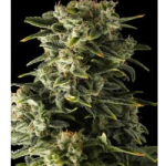 Auto Seeds - Haze Dinafem Seeds