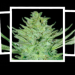 Auto Seeds - Headlights Kush