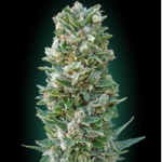 Auto Seeds - Heavy Bud