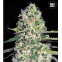 Auto Seeds - Jack Herer Seeds