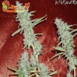 Auto Seeds - Krippleberry