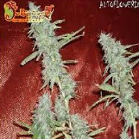 Auto Seeds - Krippleberry
