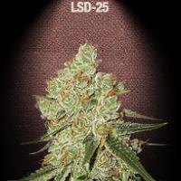 Auto Seeds - LSD 25