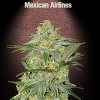 Auto Seeds - Mexican Airlines