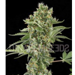 Auto Seeds - Moby Dick