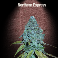 Auto Seeds - Northern Express