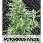 Auto Seeds - Notorious White