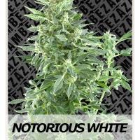 Auto Seeds - Notorious White