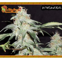 Auto Seeds - Pickled Diesel