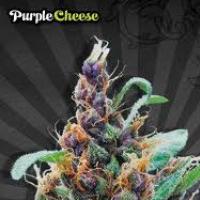 Auto Seeds - Purple Cheese
