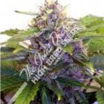 Auto Seeds - Purple Ryder