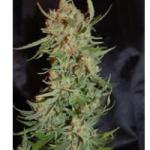 Auto Seeds - Pyramid 11