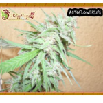 Auto Seeds - Spinning Buzz Kick