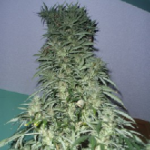 Auto Seeds - Super Stinky