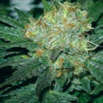 Auto Seeds Tugy D Diesel