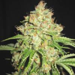 Auto Seeds - White Russian