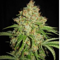 Auto Seeds - White Russian Automatic