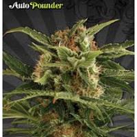 Auto Seeds - Auto Pounder