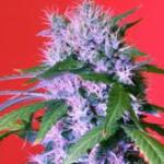 Auto Seeds - Berry Bomb
