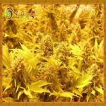 Auto Seeds - Choc Matic